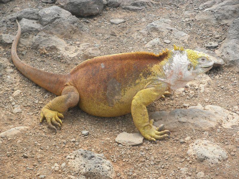 Galapagos lizzard