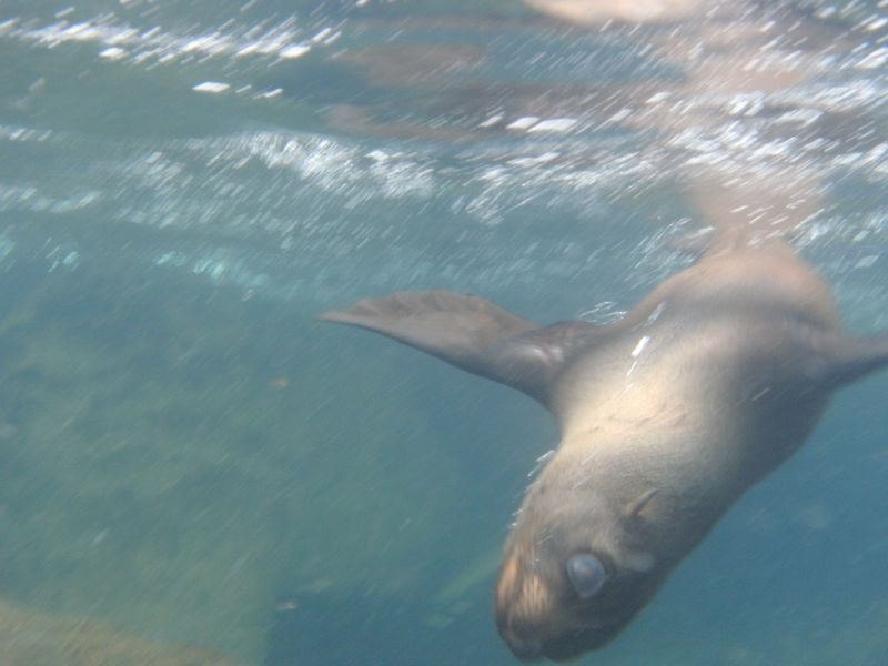Sea lion on snorkel trip